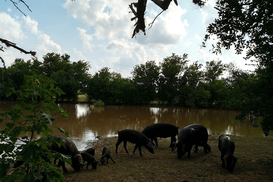 South Texas Heritage Pork